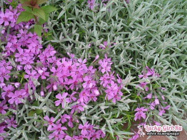 Ясколка: посадка и уход. Выращивание ясколки из семян на рассаду и в открытом грунте