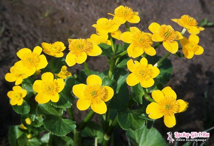 многолетние садовые желтые цветы фото и названия