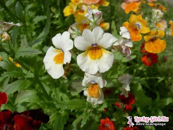 Немезия: выращивание из семян. Особенности ухода за немезией