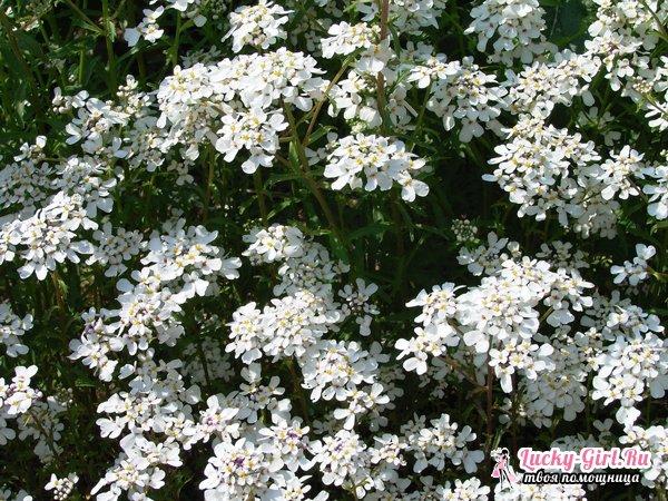 Иберис: выращивание из семян. Посадка и уход за различными видами ибериса