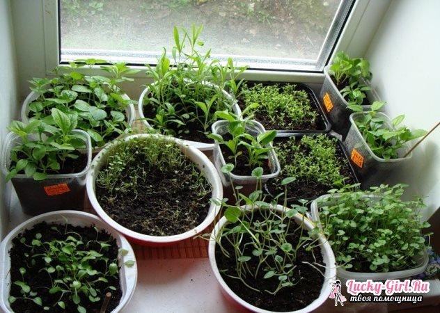 Агератум: выращивание из семян. Когда сеять агератум на рассаду?