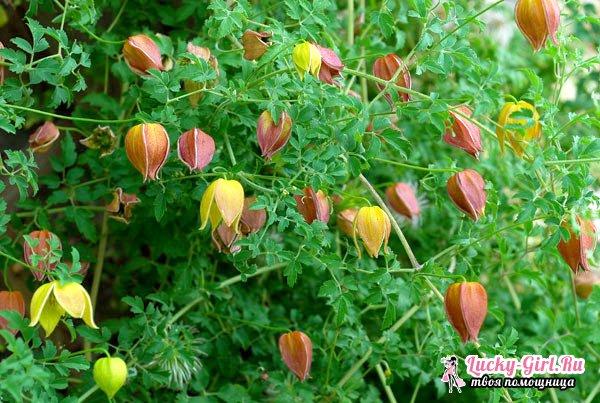 Клематисы: сорта для сада. Уход за гибридными и крупноцветными клематисами