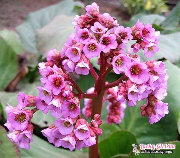 Садовые цветы многолетники. Сорта и способы выращивания