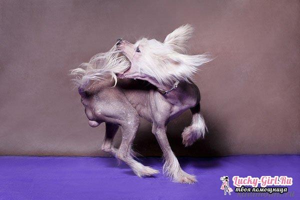 Собака китайская хохлатая. Особенности породы, тонкости ухода и кормления