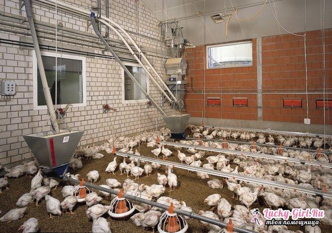 Чем кормить кур? Кормление кур на птицефабриках и в домашних условиях
