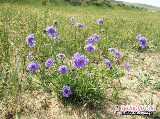 Скабиоза: выращивание из семян, особенности посадки и ухода