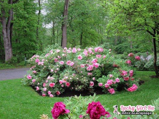 Пион древовидный: выращивание и уход, фото различных сортов растения