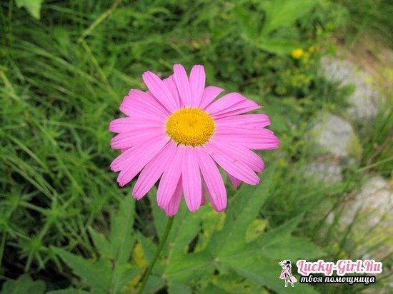 Пиретрум: выращивание из семян и тонкости посадки и ухода