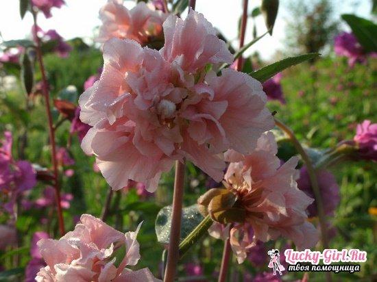 Кларкия изящная: выращивание из семян и тонкости ухода