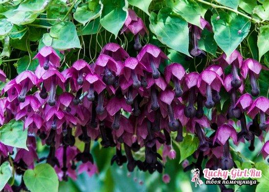 Родохитон: описание вида и выращивание растения из семян