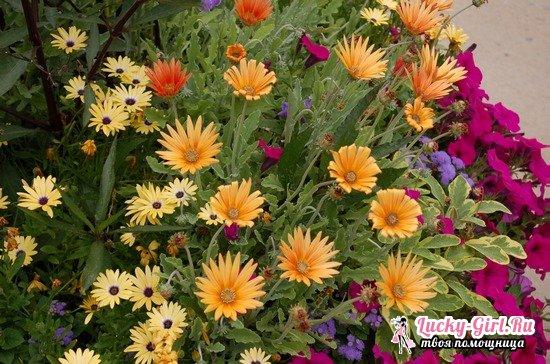 Арктотис: выращивание из семян, посадка и особенности ухода