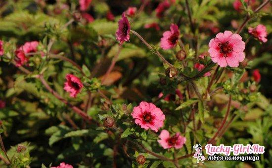 Лапчатка непальская: выращивание из семян, особенности ухода