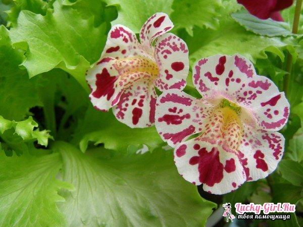Мимулюс: выращивание из семян. Посадка и уход за мимулюсом