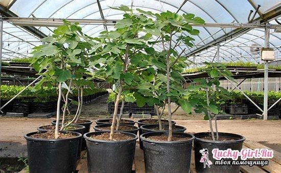 Инжир: уход и выращивание в открытом грунте, обрезка
