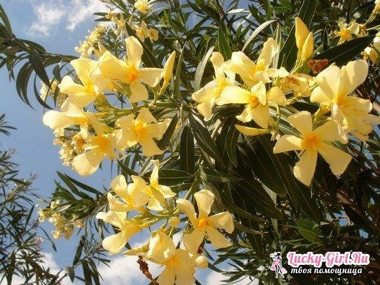 Олеандр: уход и выращивание в саду. Размножение, формирование в домашних условиях